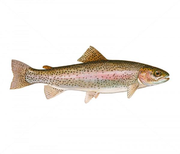 Ձուկ «Իշխան» Ձուկ-Մուկ