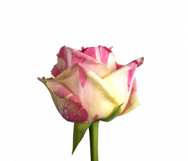 Հոլանդական վարդ «Fiesta» 70սմ My Rose