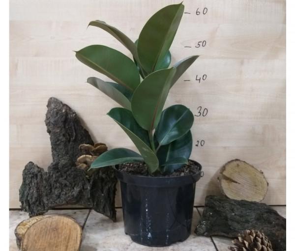 Fikus Elastica Orchid Gallery