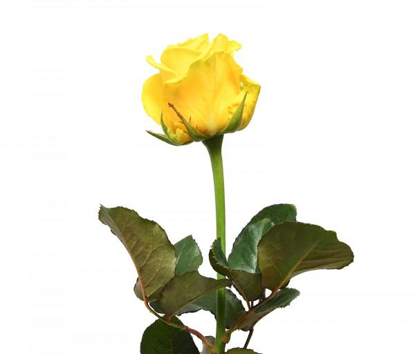 Վարդ «Penny Լane» 60-70սմ FlowerShop