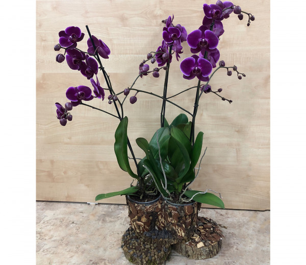 Оrchid Orchid Gallery