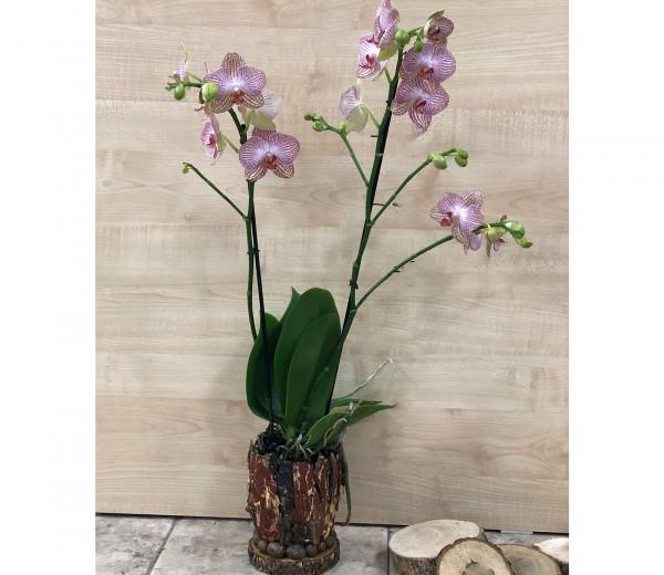 Խոլորձ Orchid Gallery