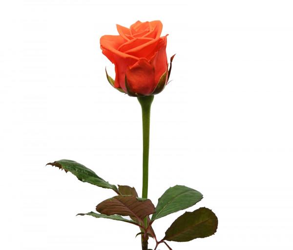 Վարդ «Oww» 60-70սմ FlowerShop