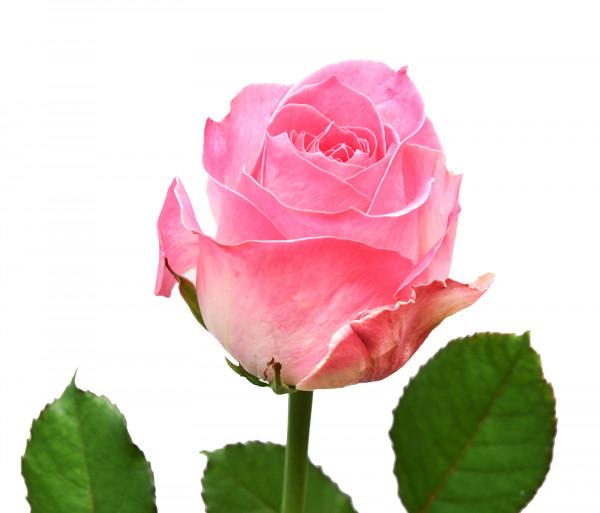 Վարդ «Candy Avalanche» 60-70սմ FlowerShop